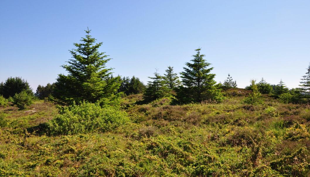 Sitkagran som har spreidd seg frå nærståande planteskog og etablert seg i kystlynghei i Øygarden