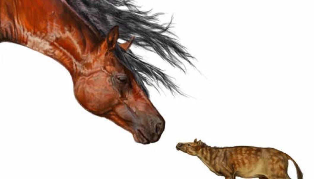 Sifrhippus sandrae og moderne hest. (Illustrasjon: Danielle Byerley, Florida Museum of Natural History)