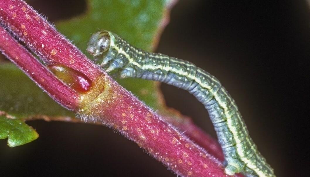 Liten høstmålerlarve (Operophtera brumata). Arne C. Nilssen, TMU