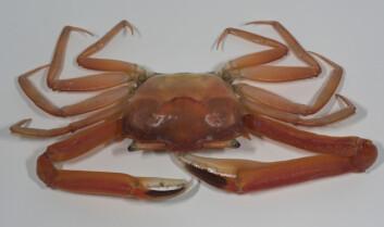 En hann av arten Goneplax rhomboides fanget utenfor Sandefjord. Arten er først nylig funnet så langt nord. (Foto: Per Jensen, Havforskningsinstituttet)