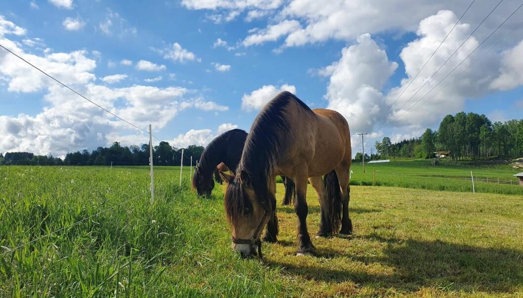 ─ Det er vanskelig å kontrollere hvor mye og hvilke typer gress hesten spiser når den kommer ut på beite, sier forsker Rasmus Bovbjerg Jensen.