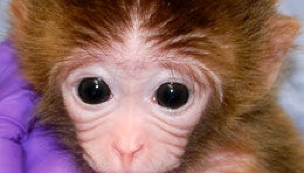 Cellene til tre aper skapt av amerikanske forskere består av mer enn ett foster. Oregon Health and Science University