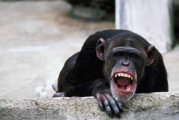 Sjimpanse. (Foto: www.clipart.com)