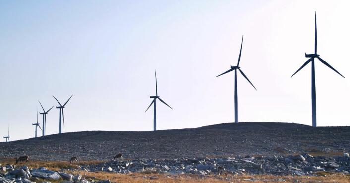 Reinsdyr blir ikke skremt av vindmøllene på Dyfjord-halvøya i Finnmark, ifølge forskningsrapporten. (Foto: Jonathan Colman)