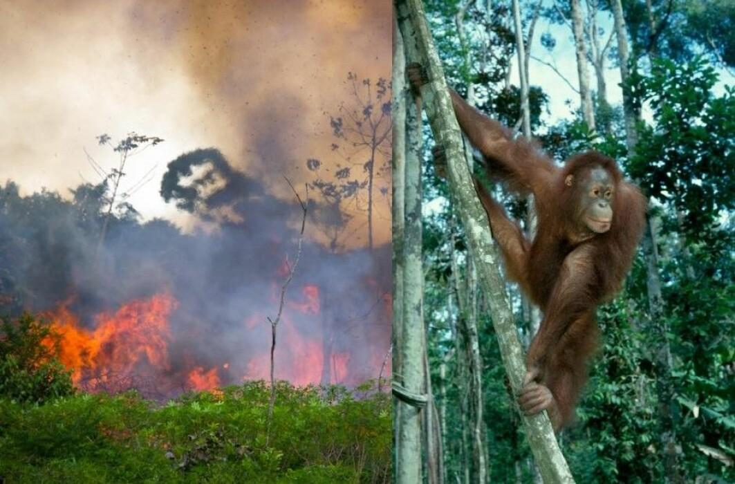 Det brennes skog for å gjøre plass til kveg- og soyaproduksjon. Det truer blant annet dyr i Amazonas og orangutangen i Indonesia.