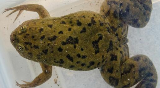 Graviditetstest-frosk bar farlig smitte