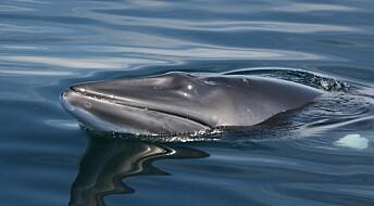 Forskere skal svømme med hval for å sjekke hva hvalen hører