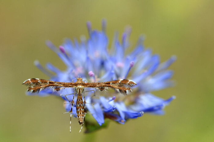Soldoggfjærmøll (Buckleria paludum) lever på soldogg i myr og er kritisk truet i Norge.