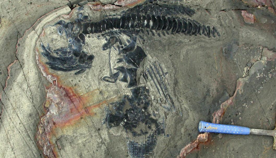 ichthyosaurus-fossiler i sandsteinen i Chile. W. Stinnesbeck