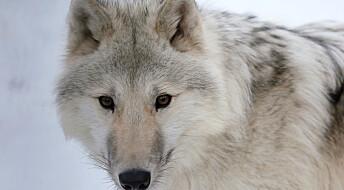 Ny teori om hvordan ulver og mennesker fant hverandre