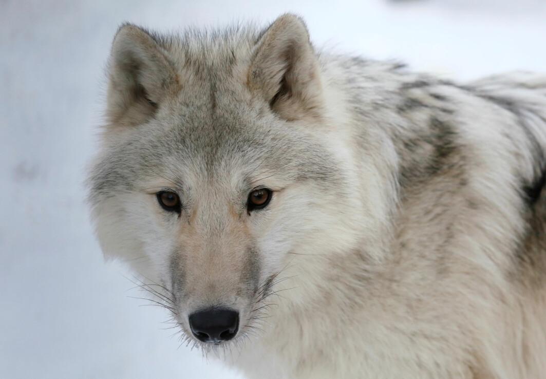 Illustrasjonsbilde av en moderne arktisk ulv i en Russisk dyrehage,