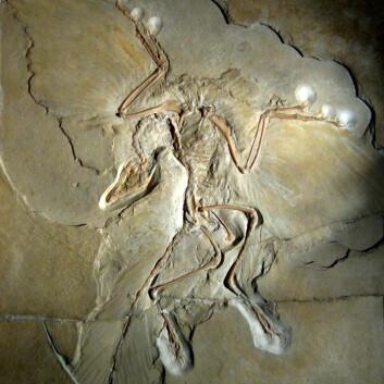 Berlineksemplaret av urfuglen archaeopteryx. (Foto: H. Raab/Wikimedia Commons)