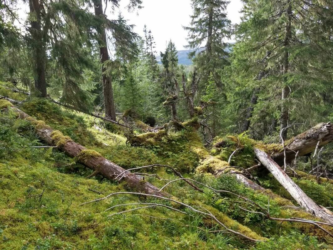 Gammel skog er et verdifullt leveområde for mange insekter og sopper. Her fra Steinkjer kommune.
