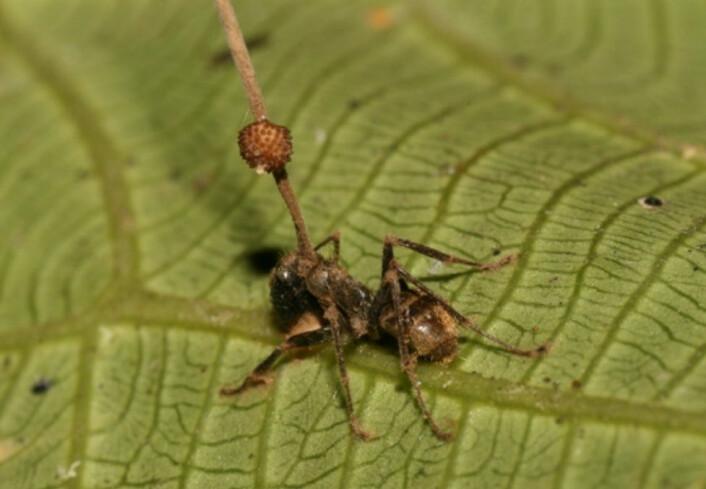 """""""Hvorfor stikker ei lang stang ut av baken på denne mauren?"""" (Foto: David P. Hughes, Maj-Britt Pontoppidan/Wikimedia Commons)"""
