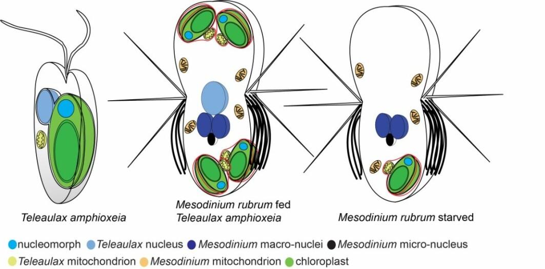 Skjematisk fremstilling av kjerner og kloroplast i algen Teleaulax amphioxeia og Mesodinium rubrum. Til venstre en frittsvømmende alge med en kloroplast og en kjerne. I midten en godt matet flimmerdyrcelle som har spist flere alger og holdt kloroplaster. Til høyre et utsultet flimmerdyr. Den har mistet kjernen fra algen og er ikke lenger i stand til å servere kloroplasten med genprodukter. Den vil snart dø hvis den ikke kan spise på en alge igjen.
