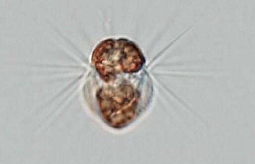 Mikroalger i havet tar til seg slaver
