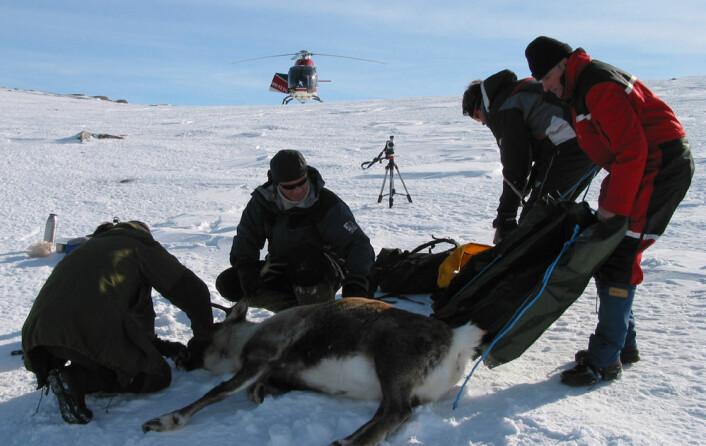 På Nordkinn har forskerne kartlagt reinsdyrene med kikkert. I andre forskningsprosjekter er det mer hensiktsmessig å bruke GPS-merking. Her blir et reinsdyr utstyrt med GPS-sender. (Foto: Jonathan Colman)