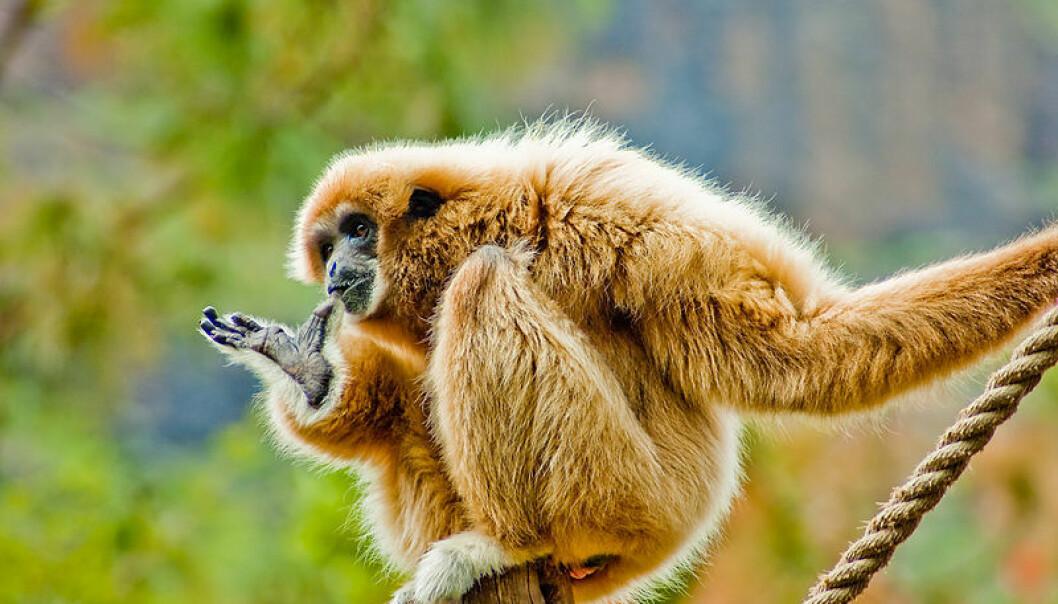Japanske forskere studerte gibbon-aper på helium. Bildet viser hvithåret gibbon i en dyrehage på Gran Canaria. Thomas Tolkien, Wikimedia Commons