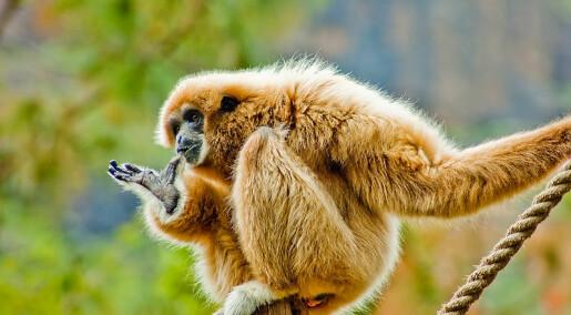 Gibbon på helium synger sopran