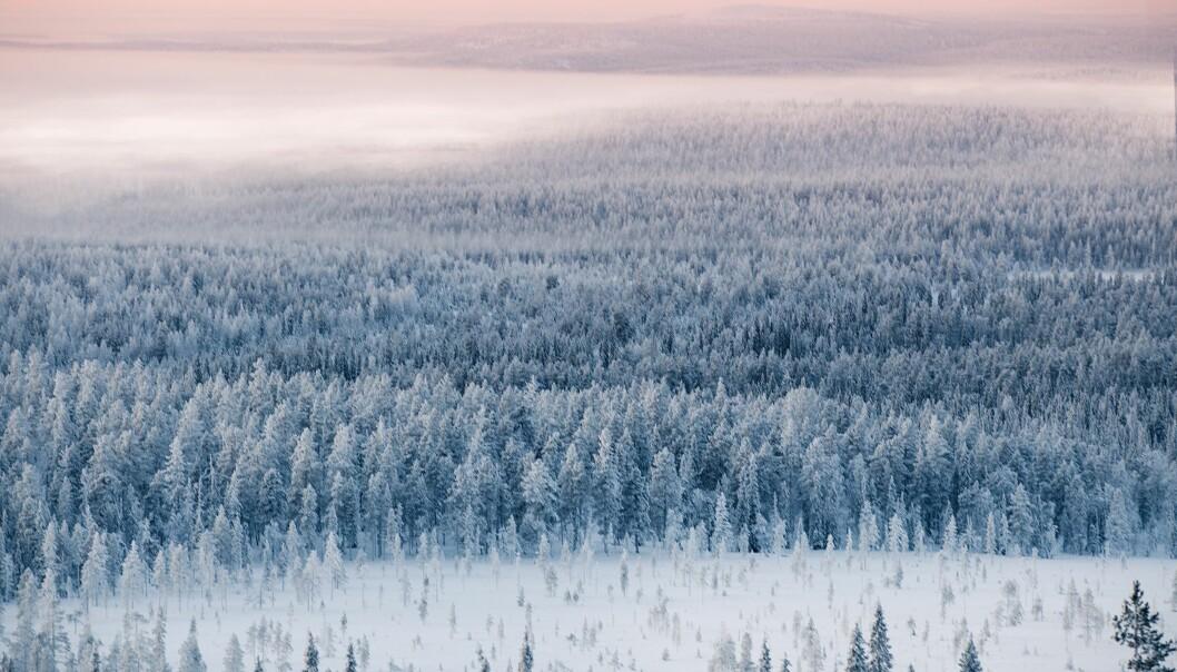 For lokalt klima, er skogplanting på høye breddegrader et komplekst spørsmål.