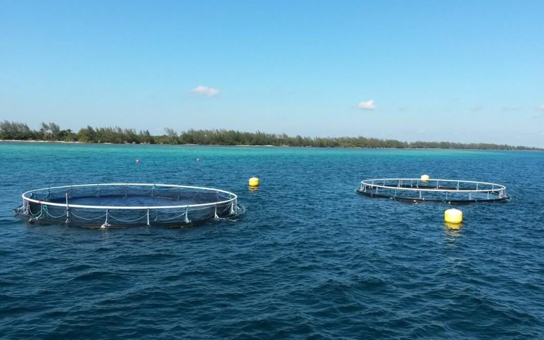 To av merdene i Grisebukta - begge med et ekstra nett for å beskytte oppdrettsfisken mot rovfisk som barrakuda og hai.