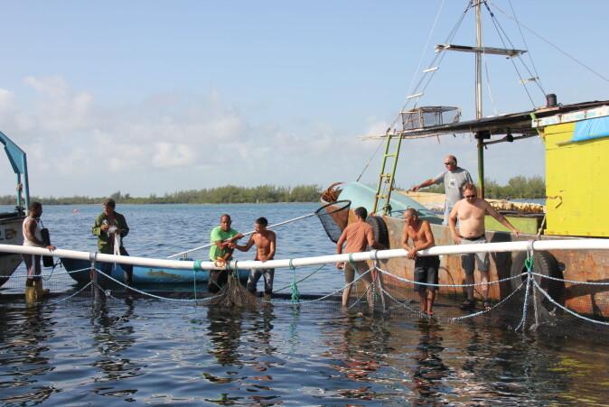 Cubanske og norske forskere klargjør den ene merden i Grisebukta.