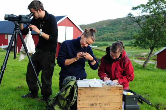 Observasjon, måling og merking av gråspurv på Helgelandskysten. (Foto: Henrik Jensen)