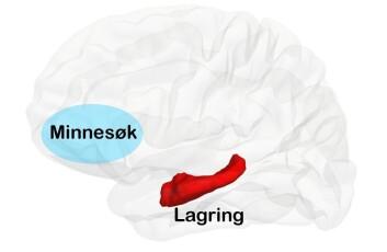 To av hjerneområdene som er viktige for hukommelse: frontallappen (lyseblått) og hippocampus (rødt). I Østbys studie var hippocampus viktig for lagringsfunksjonen, mens frontallappen hang sammen med gjenhenting av minner. (Foto: (Illustrasjon: Ylva Østby))