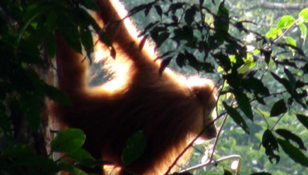 Orangutang. Adam van Casteren