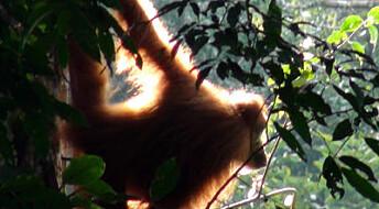 Slik bygger du hengekøye som en orangutang