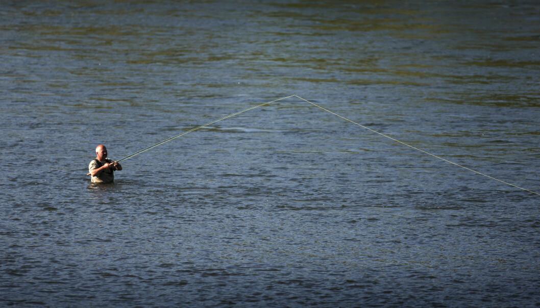 Blant kjente elver som fortsatt er upåvirket av genene fra rømt oppdrettslaks, finner vi blant andre Gaula i Trøndelag, der dette bildet er tatt.