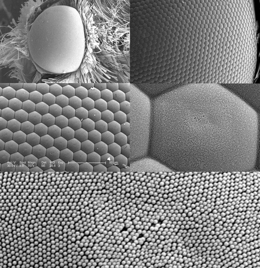 Elektronmikroskopibilder av øyet til et insekt.