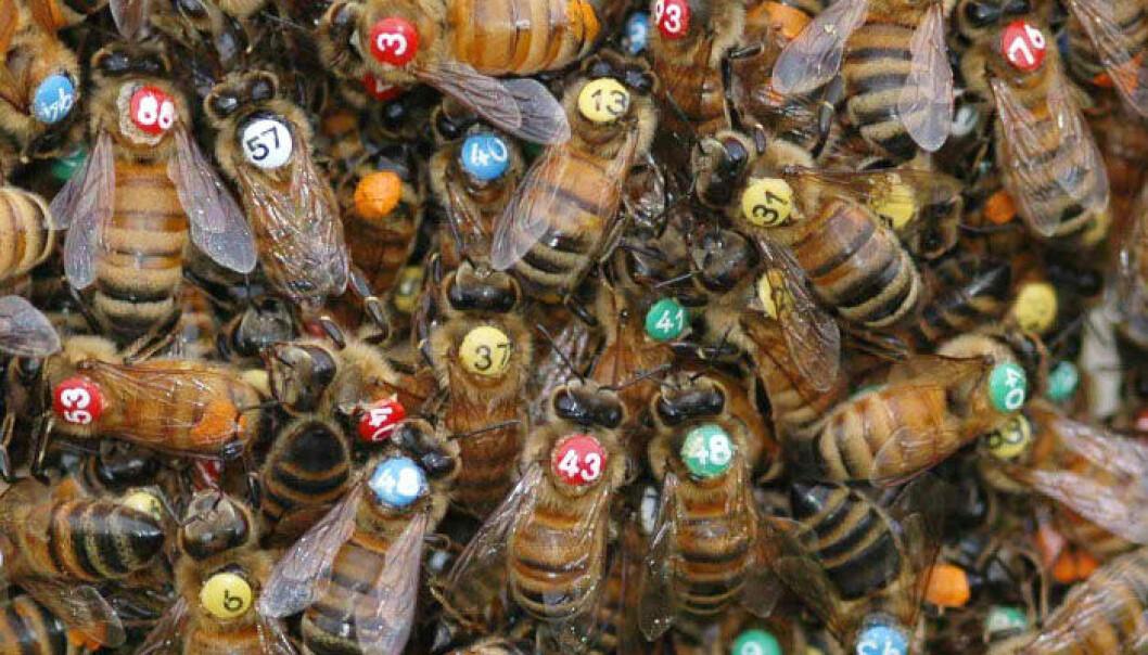 Arbeiderbier i en sverm er merket så forskerne kan kjenne dem igjen individuelt. Thomas D. Seeley
