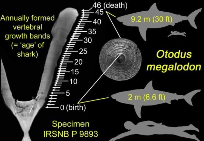Midt i bildet ser du ringene i forskerne har studert i megalodons beinbit. Øverst til høyre ser du hvor stor haien som eide beinet, var, ifølge forskerne. Formen nederst til høyre viser hvor stor megalodonen var som nyfødt, ifølge forskerne. Her er den sammenlignet med et voksent menneske.