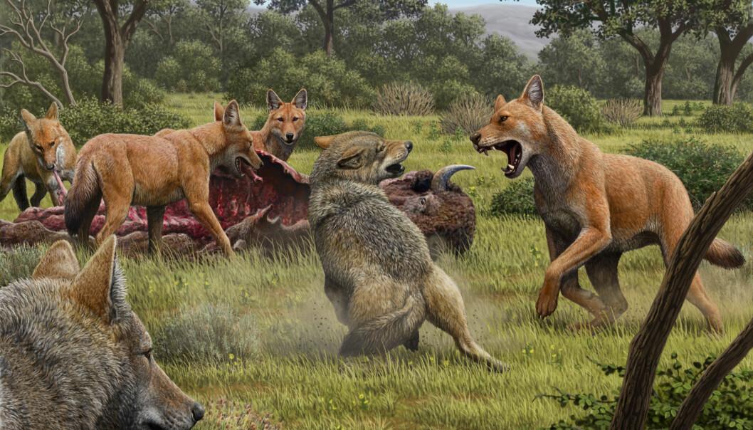 Slik ser en kunstner for seg at en kamp mellom ulv og skrekkulv kunne sett ut. Skrekkulven kan ha hatt en mer rødlig pels.