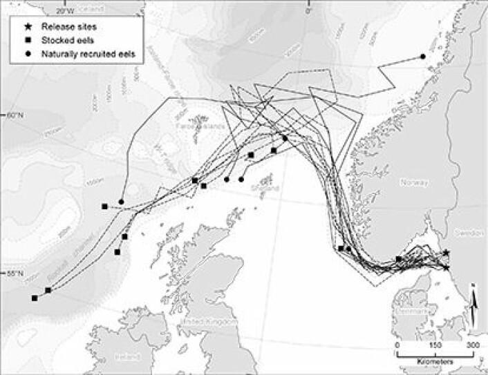 Forskerne har fulgt merkede ål 200 mil fra vestkysten av Sverige og ut i Atlanterhavet. Utsatt ål (prikket linje) fulgte omtrent samme kurs som naturlig innvandret ål (heltrukken linje). (Foto: (Kart: Marine Ecology Progress Series))