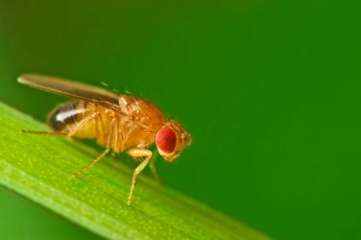 """""""Nok en gang er det forskningsfavoritten fruktfluen som må til pers. Denne gangen har selvlysende bakterier blitt sprøytet inn i levende fluefostre. (Foto: iStockphoto)"""""""