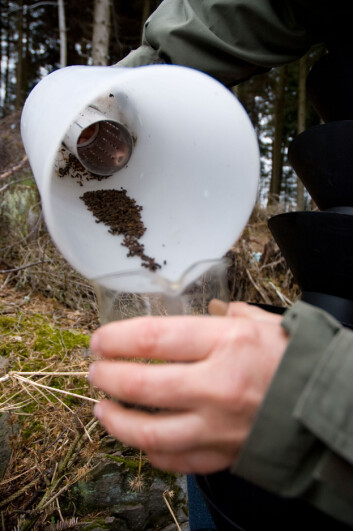 Mange går i fella tiltrukket av feromonene. (Foto: Lars Sandved Dalen, Skog og landskap)