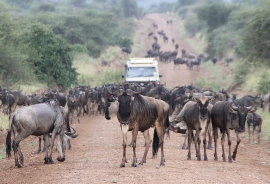 Gnuens liv er et liv på evig vandring etter mat og drikke. Hver vår og høst vandrer enorme gnuflokker gjennom Serengeti på jakt etter friskt gress. (Foto: Eivin Røskaft)