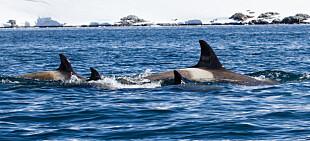 Så mange hvaler er det i våre nære havområder