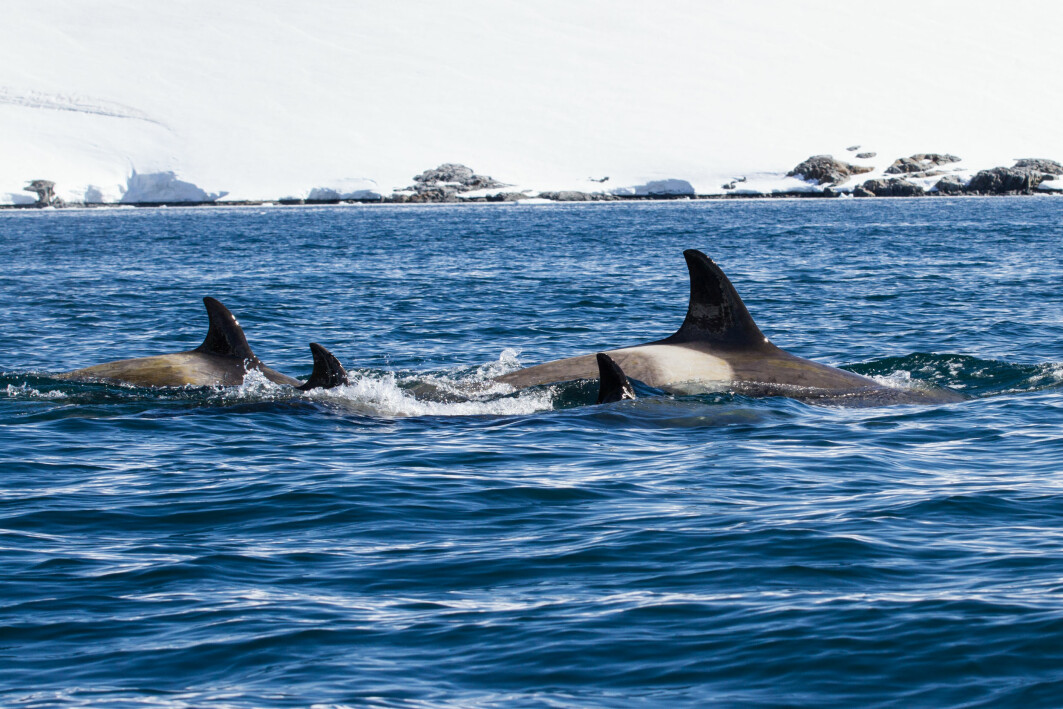 Forskerne har brukt kompliserte regneoperasjoner for å telle med alle store og små hvaler.