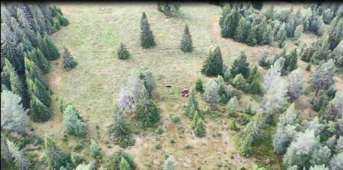 Dronebilde av de åtte kvigene på beite nærmest skytefeltet.