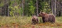 Slik kartlegger forskerne brunbjørn i Norge