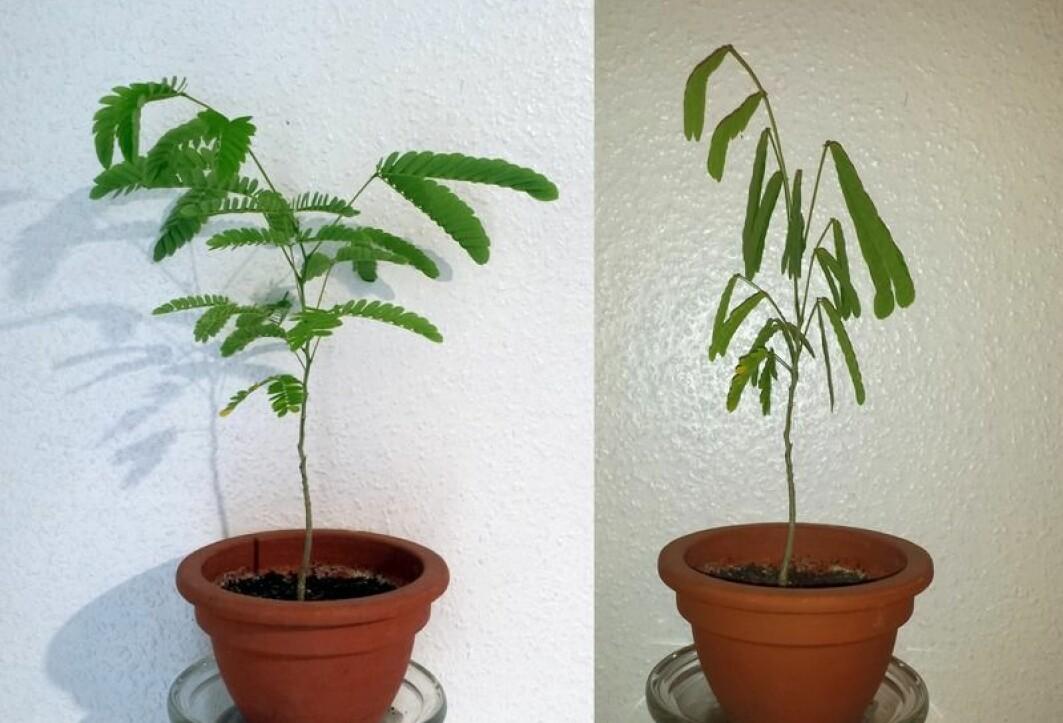 Denne planta blir slapp i bladene om natta.