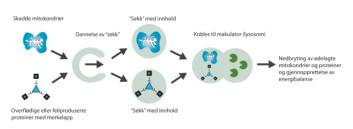 """Autofagi skjer inne i cellene: Merkede proteiner og skadde mitokondrier fanges opp i """"sekker"""" og smelter så sammen med lysosomer som inneholder nedbrytende enzymer. Innholdet brytes ned til sine bestanddeler som så gjenbrukes. Prosessen frigjør energi. (Figur: Anne Henriksen)"""