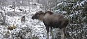 Jakthunder stresser opp elgen