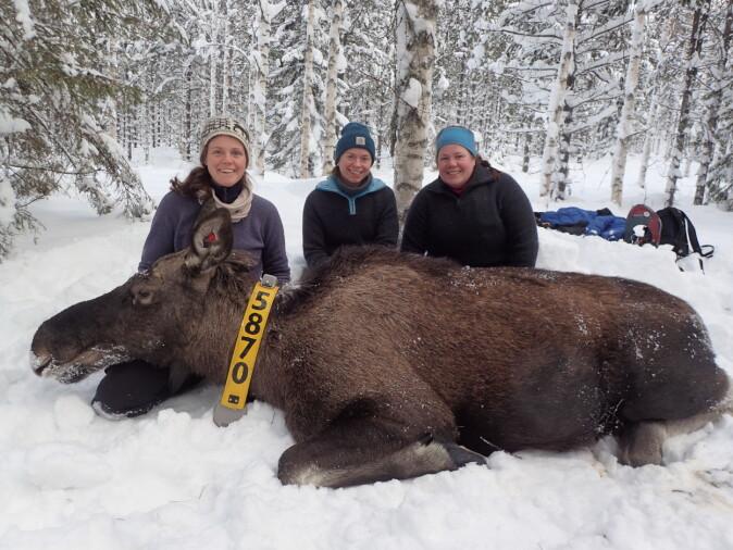 På bildet er Alina Evans, Alexandra Thiel og Anne Randi Græsli sammen med en bedøvet elg som deltok i prosjektet.