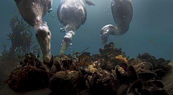 David Attenborough i ny BBC-serie: Ærfuglene i Saltstraumen er tidevanns-spesialister