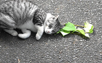 Katter elsker kattemynte, men ikke bare på grunn av rusen