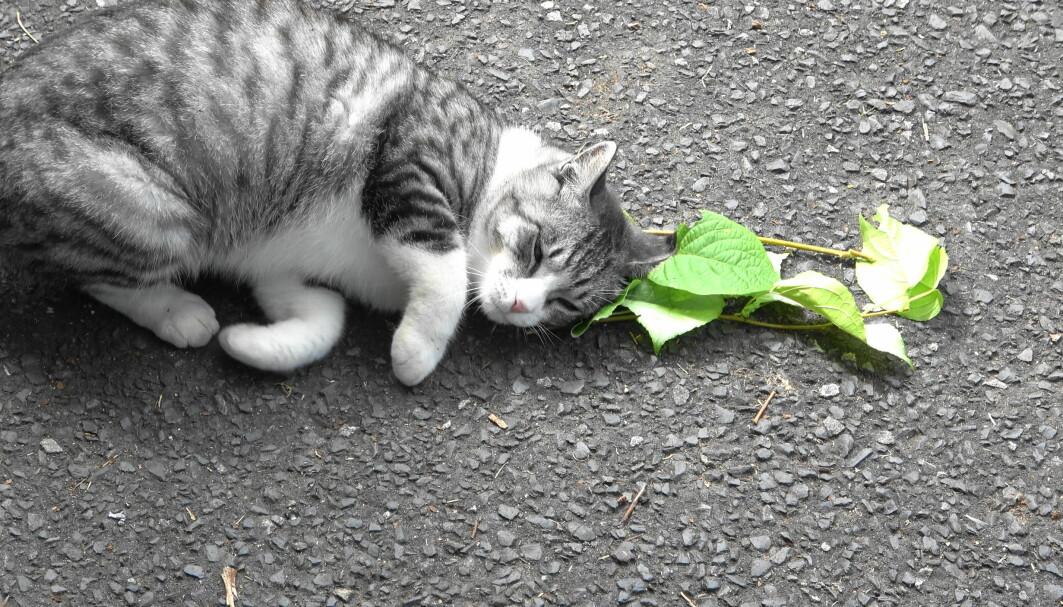 En katts reaksjon på sølvkattebusk -